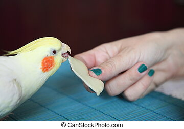 cockatiel, brutaal, papegaai