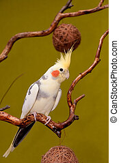 Cockatiel on a branch