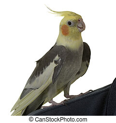 Cockatiel on Shoulder - Cockatiel on owner\\\'s Shoulder, on...