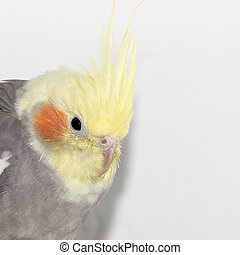 Cockatiel closeup