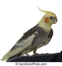 Cockatiel with open Bill - Cockatiel with open Beak, on...