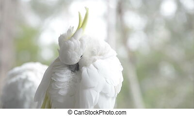 Cockatoo Preening - Sulphur crested cockatoo preening itself...