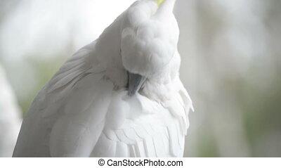 Cockatoo Preening - Sulphur crested cockatoo preening itself...