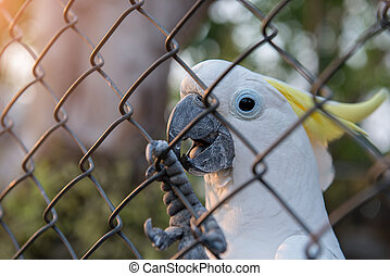 Cockatoowhite  in a cage alone at home