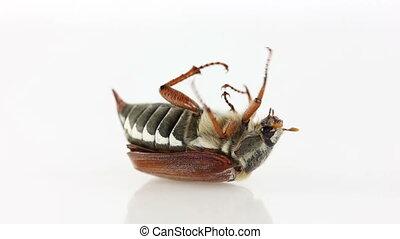 Cockchafer bug on white background
