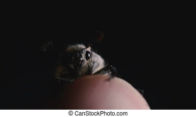 Cockchafer crawling on a human finger
