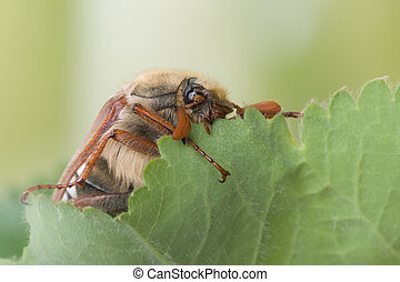 cockchafer eating leaves - Maybeetle in springtime eating...