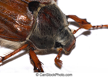 cockchafer (Melolontha melolontha), also called may bug,...