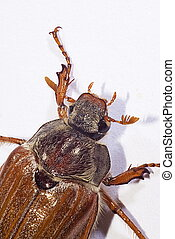 cockchafer, (Melolontha melolontha) - cockchafer, also...