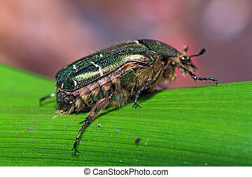 cockchafer on green sheet