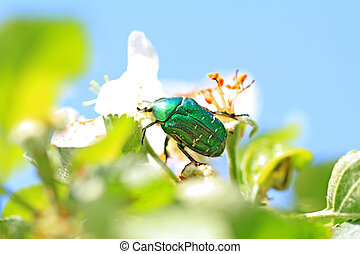 cockchafer on white flower of the aple trees