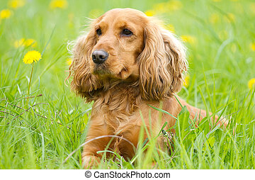 Cocker spaniel - Beautiful cocker spaniel on the green grass