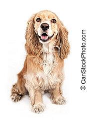 Happy Cocker Spaniel dog isolated on white