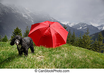 Cocker spaniel dog standing on the top of a mountain with a red umbrella