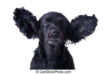 cocker spaniel expressing