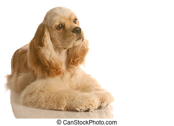 american cocker spaniel puppy laying down isolated on white background