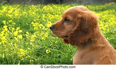 Cocker Spaniel puppy in the field