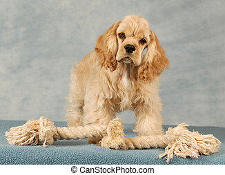 cocker spaniel puppy playing with tug rope toy