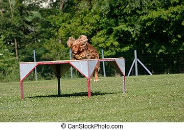 Cocker Spaniel springt auf Podest - Cocker spaniel jumps on ...