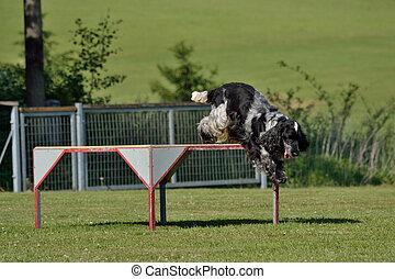 Cocker Spaniel springt vom Podest - Cocker Spaniel jumping ...