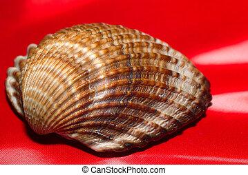 Cockle ( cerastoderma edule )