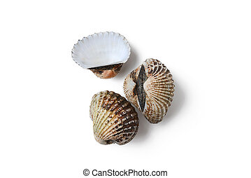 cockle on white background