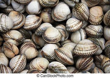 Cockle shells - Common cockles, Cerastoderma edule, for sale...