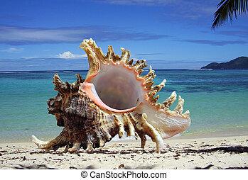 cockleshell, 在海灘上