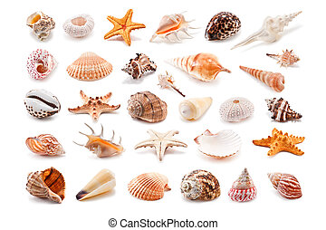 Cockleshell - Collection of cockleshell isolated on white