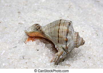 Cockleshell in salt - Cockleshell in large sea white natural...