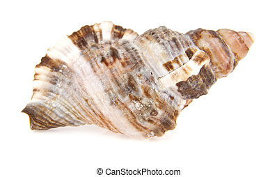 cockleshell on a white background