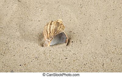 cockleshell on marine sand