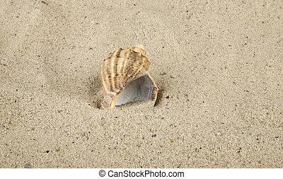 cockleshell on marine sand