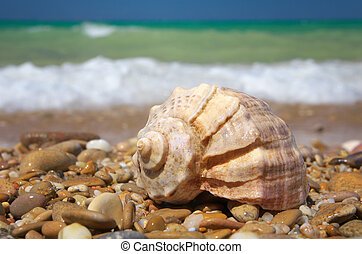 Cockleshell on the sea shore