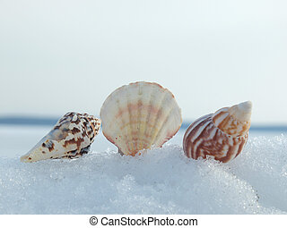 Cockleshells and snow - Cockleshells on a snow in the winter