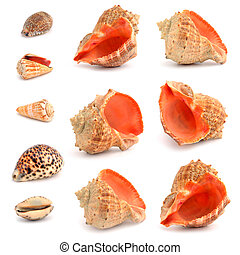 Cockleshells on a white background.