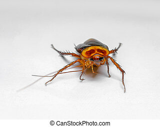 Cockroach, American Cockroach, Insect, White Background, Brown