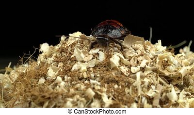 Cockroach crawls to the top of the sawdust. Black background...