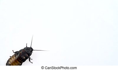 Cockroach crawls. White background. Close up. Slow motion