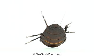 Cockroach lies on its back. White background. Close up. Slow...