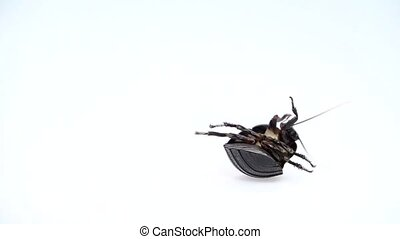 Cockroach lies on its back with its paws up and turns. White background. Close up. Slow motion