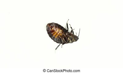 Cockroach lies on its back with its paws up and turns. White background. Close-up . View from above
