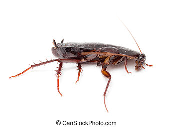 cockroach on a white background .