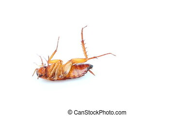 cockroach on isolated