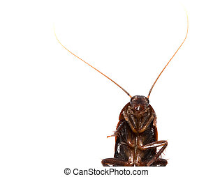 cockroach on white background. macro