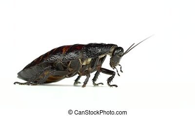 Cockroach stands and stirs the mustache. White background....