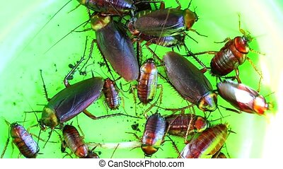 cockroaches are in a green plastic plate. It eats leftover food from other animals