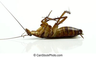 Cockroaches ( Blattella asahinai ) are sprayed with insecticides and lying on white background. Asthma and allergy triggers. Used for advertising insecticide concept.