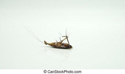 Cockroaches ( Blattella asahinai ) are sprayed with...