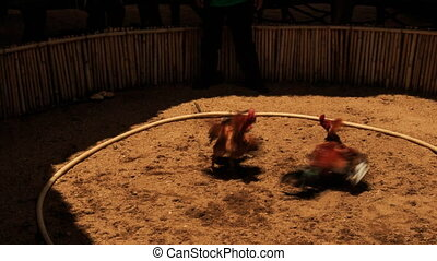 cocks fight in battle in Vietnamese traditional...